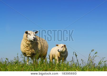 Little lamb and mother sheep on green grass with blue sky background on dutch island Texel