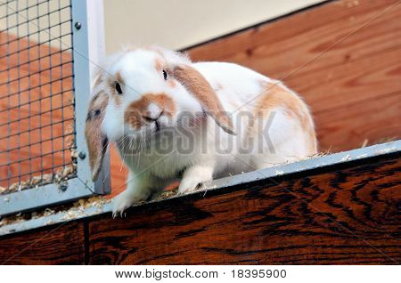 Cute lop ear rabbit in his cage wondering if he can jump to his freedom