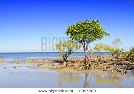 Mangrove trees and roots on the beach of Cape Tribulation, Australia
