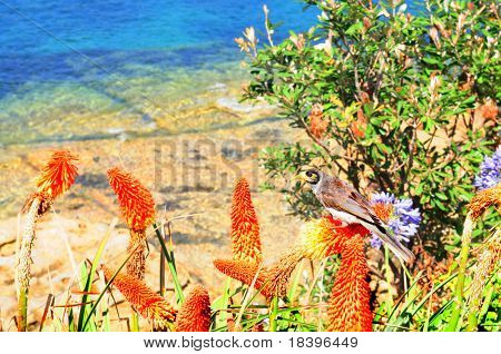 Bird in torch lily flowers in Manly beach, Sydney Australia