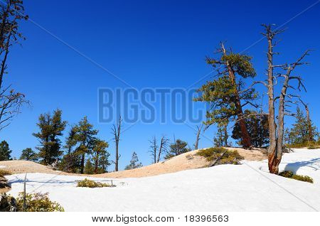 Winter landscape in Bryce canyon with pine trees