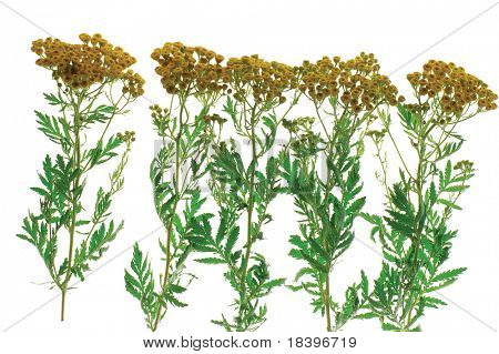 tansy isolated on white