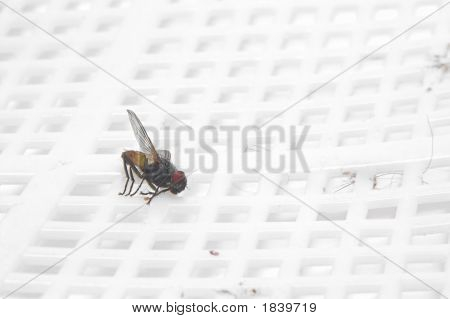 Dead House Fly