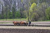 stock photo of horse plowing  - A team of horses and an Amish man plowing fields - JPG