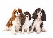 Three dog breeds Cavalier king charles spaniel isolated on a white background