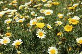 Southern California Wild Flowers Super Bloom of Daisies and other wild flowers after record rain fal poster