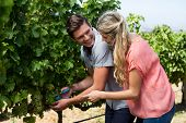 Smiling young couple using pruning shears at vineyard during sunny day poster