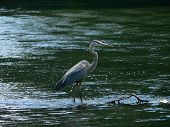 Great Blue Heron 001 poster