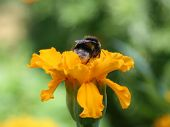 picture of gadfly  - Gadfly on yellow flower - JPG