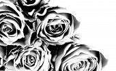 stock photo of condolence  - Background with roses in black and white - JPG
