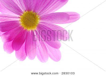 Single Pink Chrysanthemum
