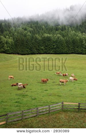 Idyllic Morning With Cows, Fir-Forest And Fog