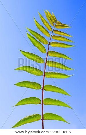 Leaf Of Staghorn Sumac