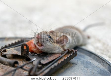 Disposal Dead Mouse Caught In
