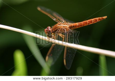 extreme closeup of dragonfly