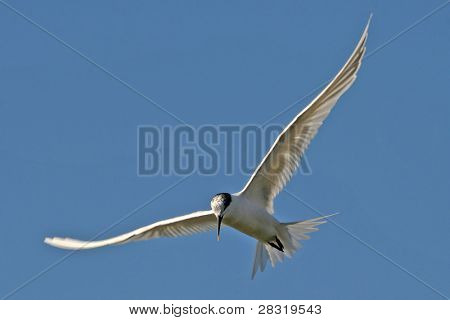 Common Tern (Sterna sandvicensis), nature animal photo