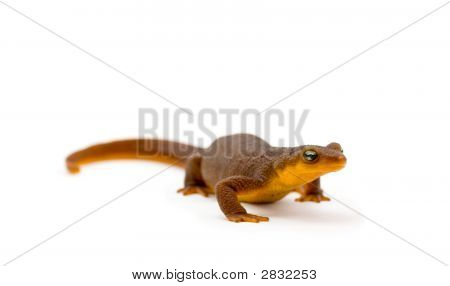 California Newt On White