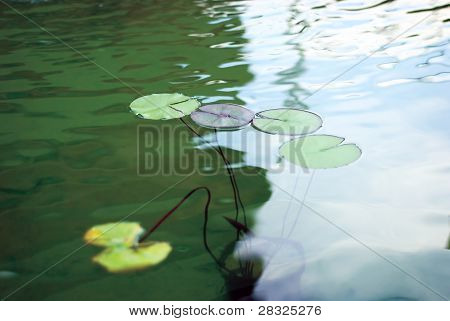 Green Lily Lpads Floating On Water