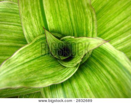 Green Bromelia