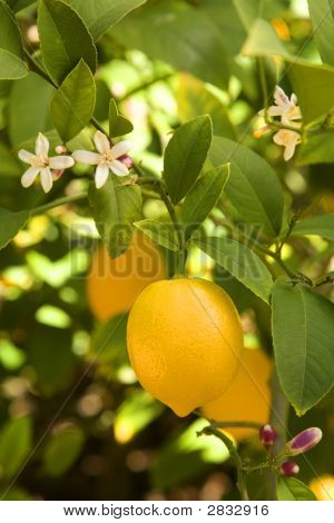 Myer Lemon