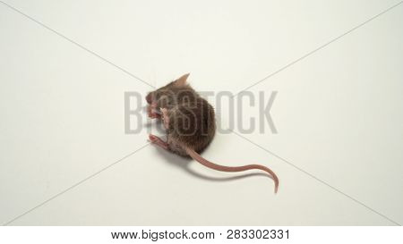 The Dead Mouse On White