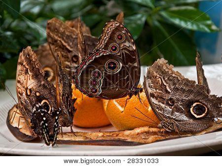 Exotic Owl Butterflies Feeding On Fruit