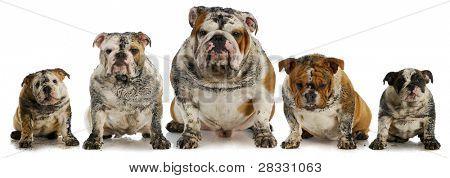perros sucios - cinco enturbiar inglés bulldogs
