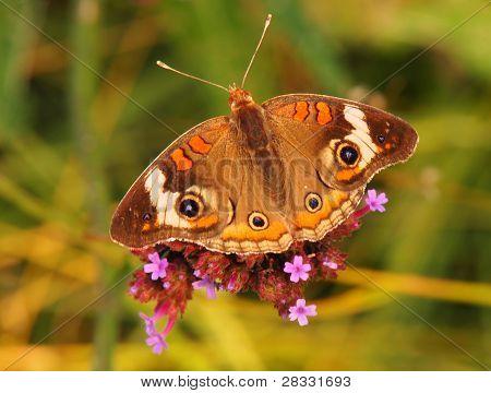 Buckeye Butterfly, Brookside Gardens, Wheaton, MD