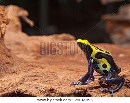 yellow black and blue poison dart frog, dendrobates tinctorius pet animal in terrarium