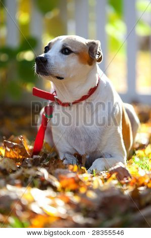 Mixed Breed Dog At Attention In A Natural Outdoor Setting With Blank Dog Tags