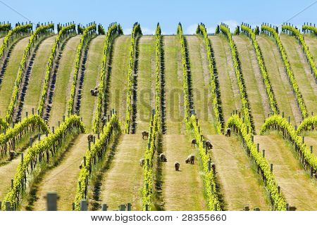 Babydoll sheep grazing in a vineyard