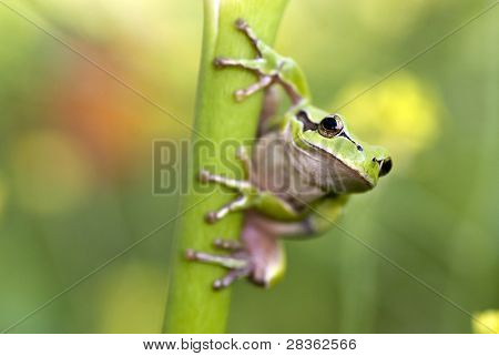 European tree frog staring at camera