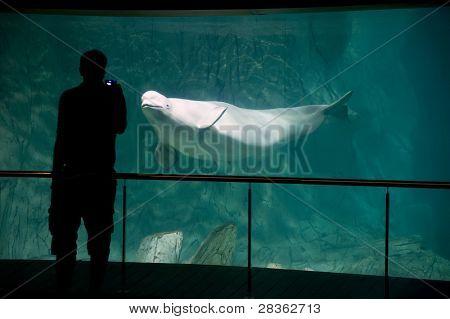 Beluga in aquarium and silhouette man