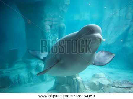 Beluga whale in clear blue water