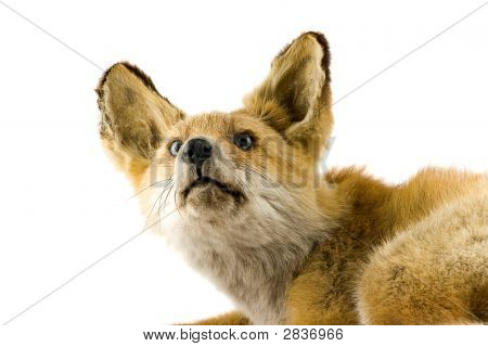 Red Fox Isolated On White Background