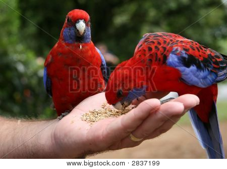 Two Parrots  Mans Hand