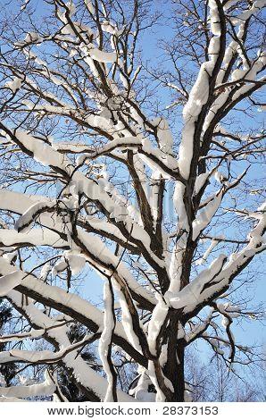 Bare Oak Tree Under Snow