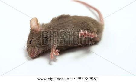Dead Laboratory Mouse Isolated On