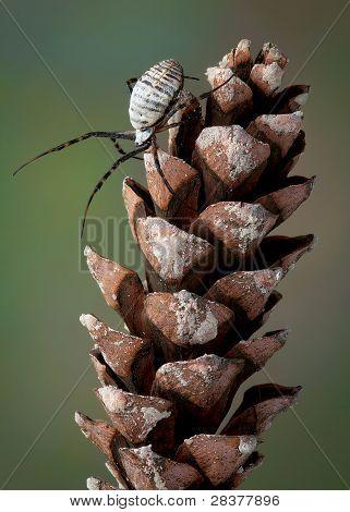 Spider On Pine Cone