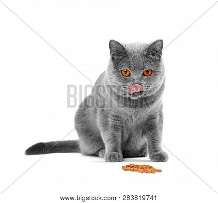 poster of British Cat Eats Food On Isolation. A Cat Lickens In Front Of A Bowl With Food. The Short-haired Gra