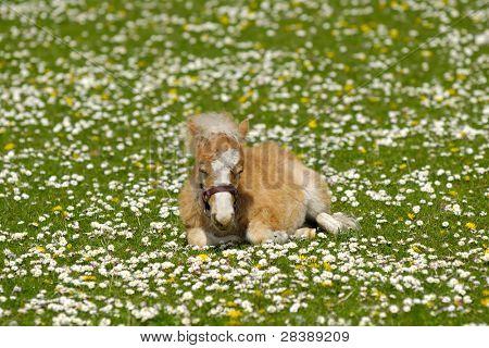 Un potro dulce descansa sobre un campo verde, blanco y amarillo de la flor
