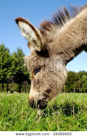 A sweet donkey foal is eating green grass