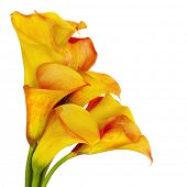 picture of arum lily  - Vibrant yellow and red calla lilies - JPG