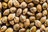 Macro Detail Of Marijuana Seed. Hemp Seeds Background In Macro. Organic Hemp Seed. Close Up. Many Ca poster