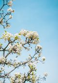 Spring Landscape. Spring White  Flowers Of Blooming Spring Tree Against Blue Sunny Sky, Colorful Spr poster
