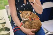 Red Adult Cat From A Shelter For Homeless Animals In The Hands Of A Volunteer. The Girl Is Trying To poster