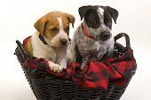 stock photo of blue heeler  - Texas red and blue heeler pups nine weeks old - JPG