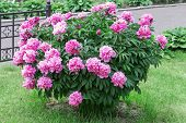 Large Peony Bush Outside, Flower Bush With A Lot Of Pink Flowers poster