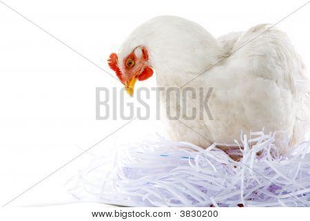 Hen In Nest