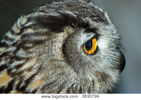 Close-Up Owl Head Profile Wild Bird